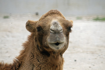 head of a camel or a Dromedary with tuft of brown hair