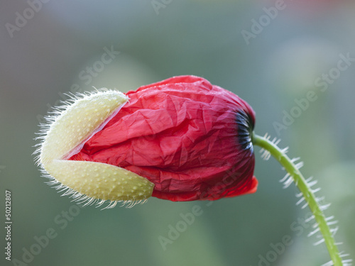 canvas print picture Klatschmohn; Papaver rhoeas