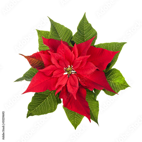 Christmas poinsettia plant isolated on white