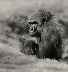 Silverback Gorilla © Laurin Rinder