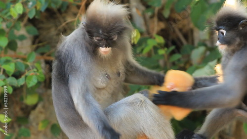 Dusky Leaf Monkey with baby