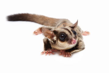 A close up of a sugar glider lying on the floor