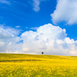 Yellow flowers green field, lonely cypress tree and blue sky