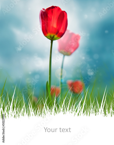 Beautiful red tulips on scenic sky and white copyspace at the bo