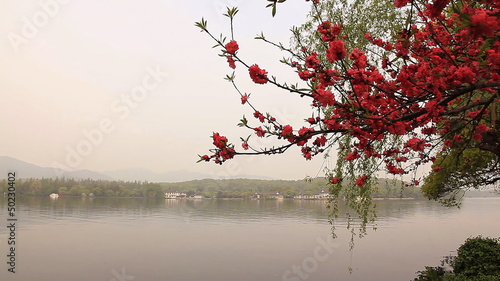 Branch of blossoming cherry. Hangzhou.
