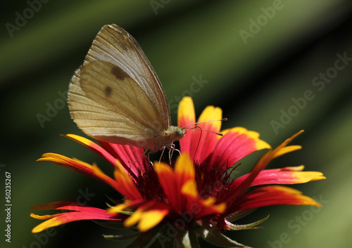 white cabbage butterfly sitting on echinacea