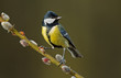 Great tit on a willow twig