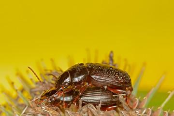 Mating Black Beetles