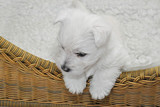 West Highland Terrier Welpe