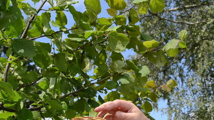 man hand pick gather ripe hazel nutwood nuts nut-tree branch