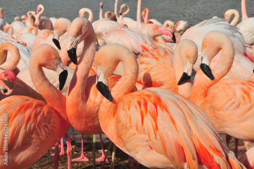 Foto op Aluminium Flamingo Flamants roses.