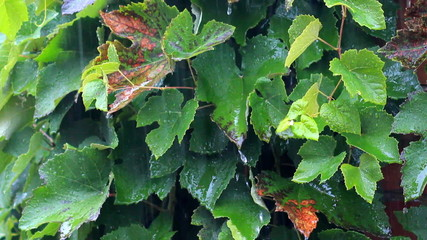 A rain flows on a vine