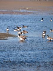 Canada Geese at Parrog Beach Newport Pembs