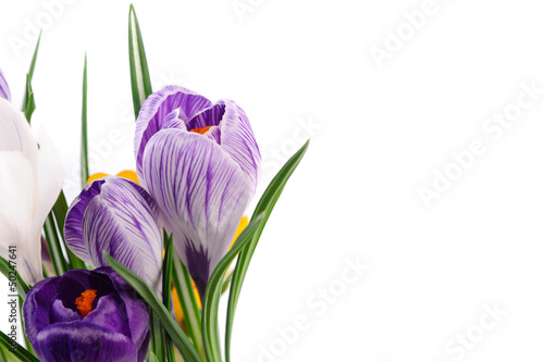 snowdrops crocus flowers isolated over white background