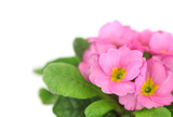 Beautiful pink primula in flowerpot isolated