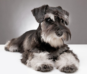 miniature schnauzer puppy five month old