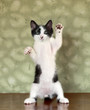 Kitten Standing on Hind Legs Waving