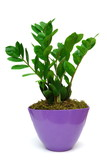 Zamia in pot  isolated on white
