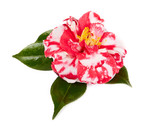 camellia on white background
