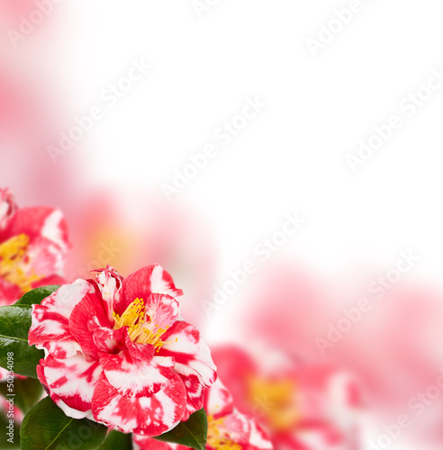 camellia background