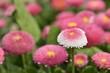 flower,marguerite,daisy