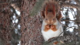 Squirrel sits on a pine and eats a nut.
