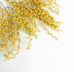 Twigs of mimosa flowers, isolated on white