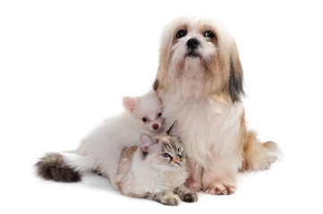 Shih tzu dog, a cat  and a chihuahua puppy in studio