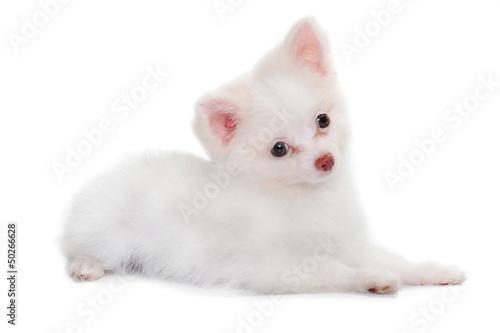 Chihuahua puppy in studio