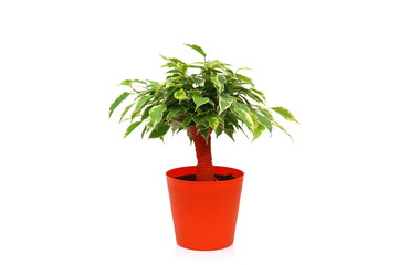 Ficus Benjamina in pot. Isolated on white