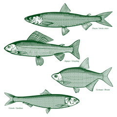 Fish freshwater vector-7