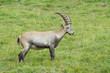 Alpine Ibex walking in gras.