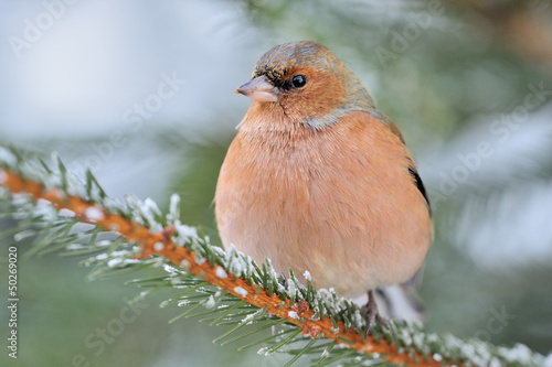 Chaffinch sitting on a spruce branch.