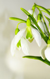 Beautiful bouquet of snowdrops