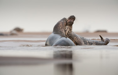 Grey Seal courtship