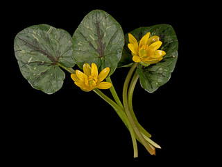 Ranunculus ficaria - Lesser celandine, spring wild flower