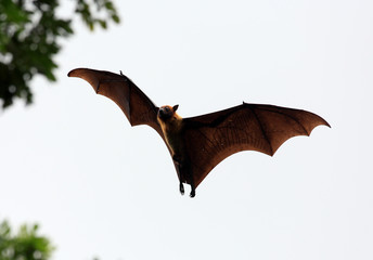 Fruit bat (flying fox) landing in tree