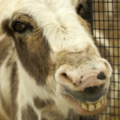 Smiling Donkey, close up