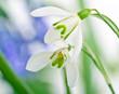 Frühlingserwachen: Schneeglöckchen, ganz nah