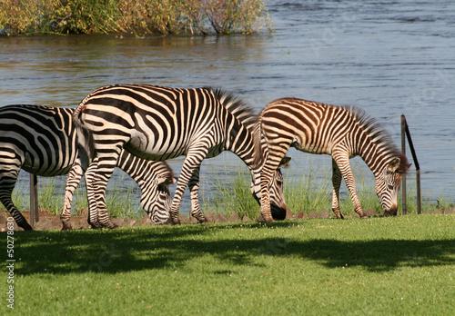 zebra w Afryce