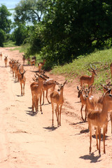 gazelles in Africa