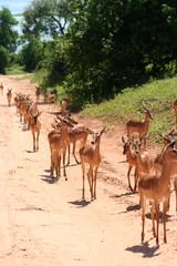 gazelles in Africa