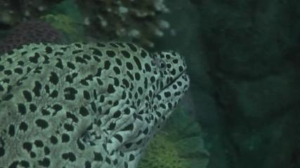 murene léopard en gros plan