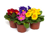 assorted primula flowers in pots