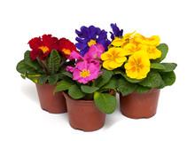 Różne pierwiosnki kwiaty w doniczkach
