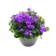 Purple house plant (Campanula) in a gray pot.