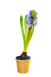 Blue hyacinths blooming in a pot.