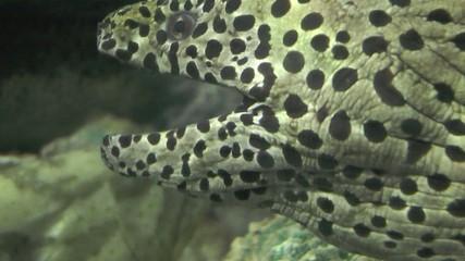une murène léopard
