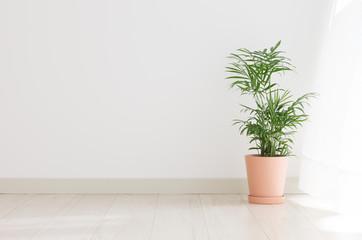 ヤシ 鉢植え