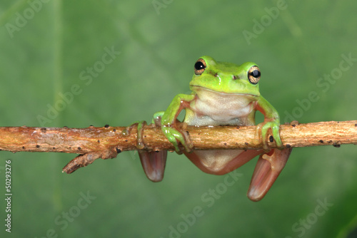 Green frog on vine